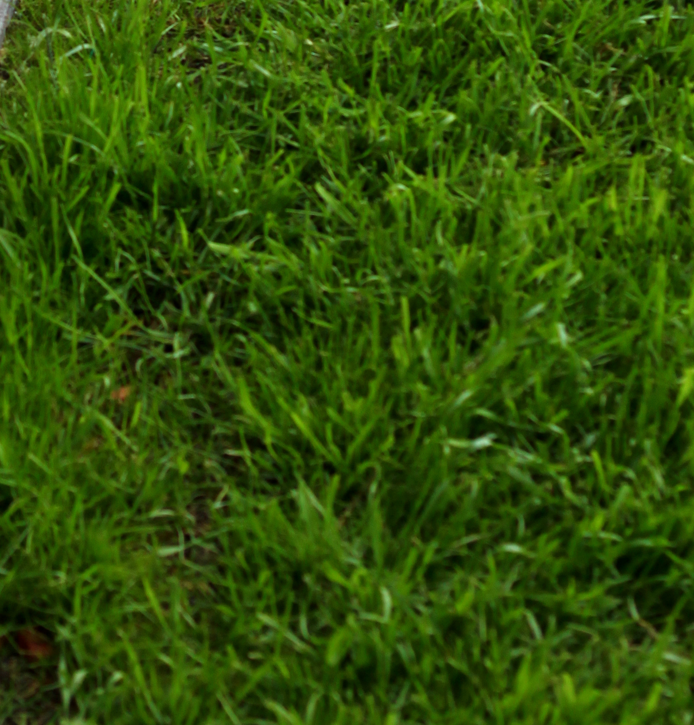 how to keep your rye grass green during summer