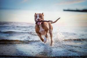 dog with stick running through lake