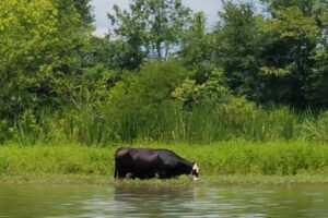 cow in water