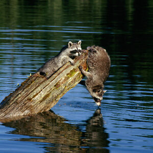 raccoons on logs over the water