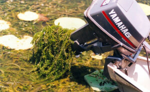 Invasive species: Hydrilla on Boat Motor