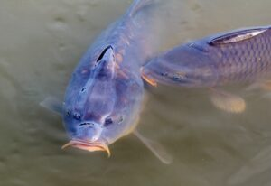 two carp in a lake