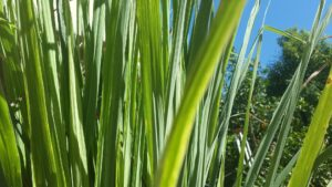 up close of green, blade-like lemon grass leaves used to prevent bugs at the lake