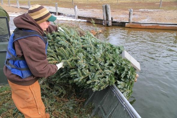 Person disposing of Christmas tree in lake for fish habitat