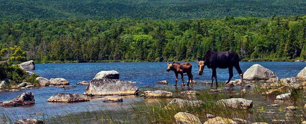 Moose walking along Moosehead Lake