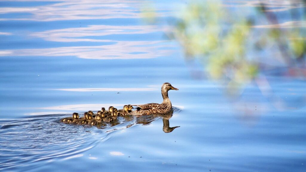 Duck with baby ducklings following